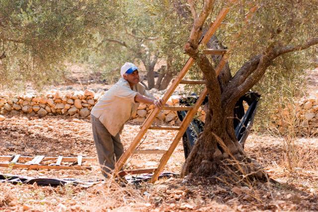 Olivenanbau in Palästina